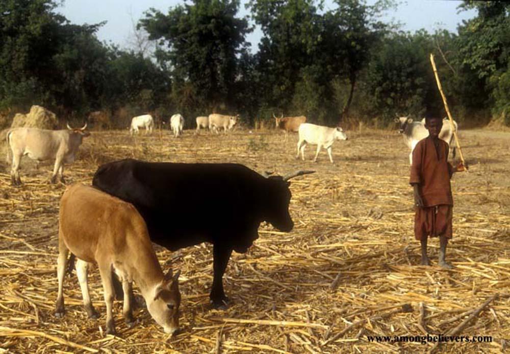 Boy cattle herder with stick in West Africa, rural scene with animals bush