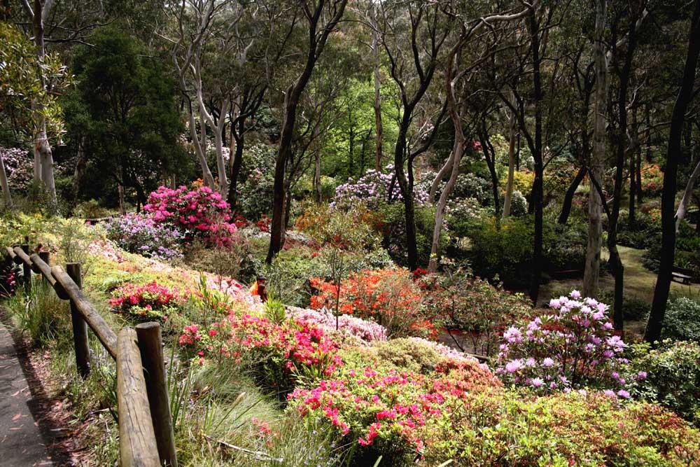 Rhodedendron garden at Blackheath Blue Mountains NSW Australia