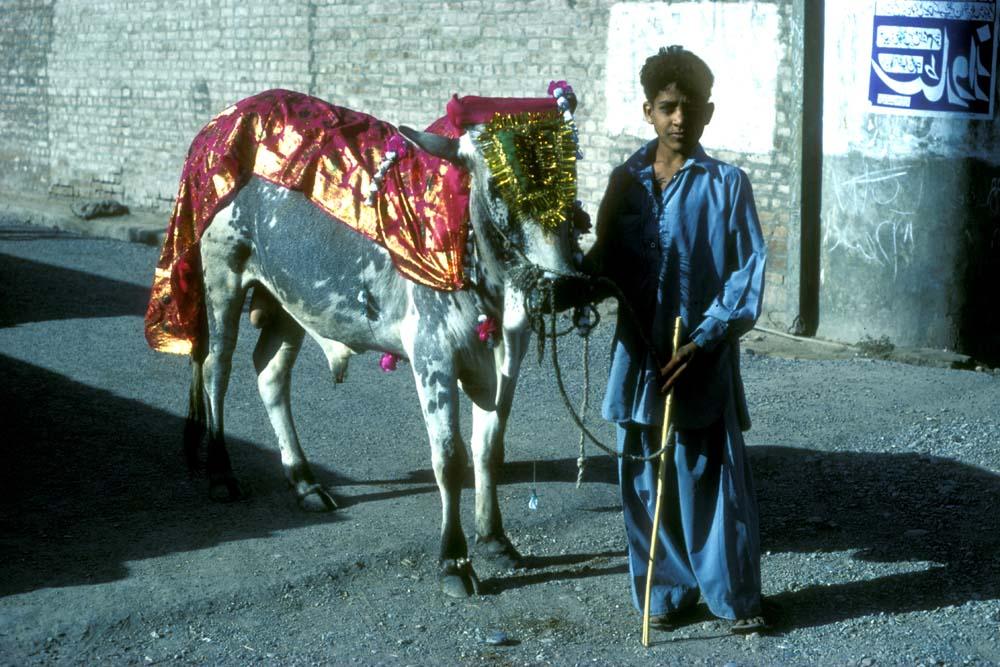 Young bull for sacrifice at eid ul-adha, Pakistan