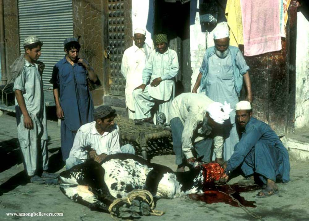 Head of the houehold cuts the throat of a cow for Eid ul Ahzar in Pakistan